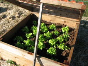 homemade-garden-coldframe-23-lettuce1