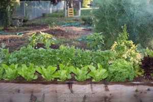 Redwood raised beds with lettuce and spinach